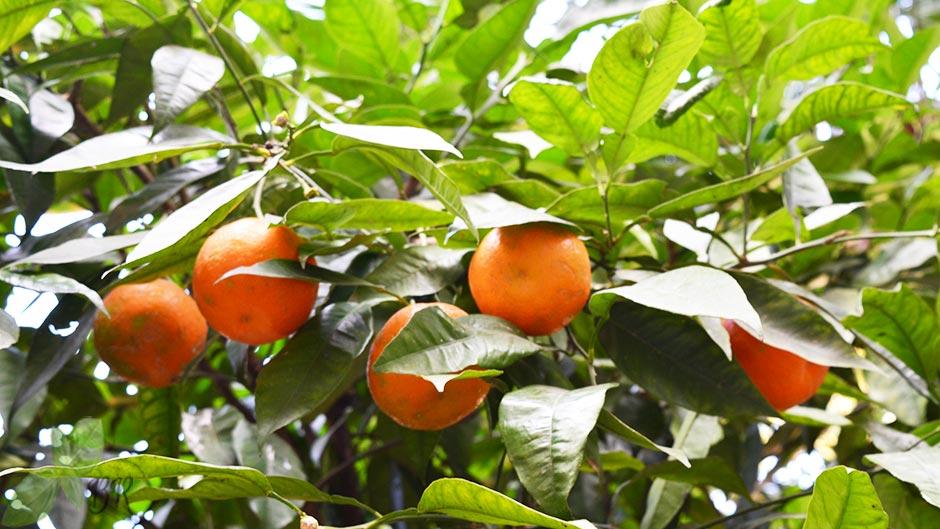 Portocala dulce